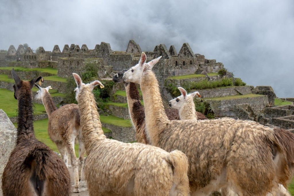 Lamas au Machu Picchu