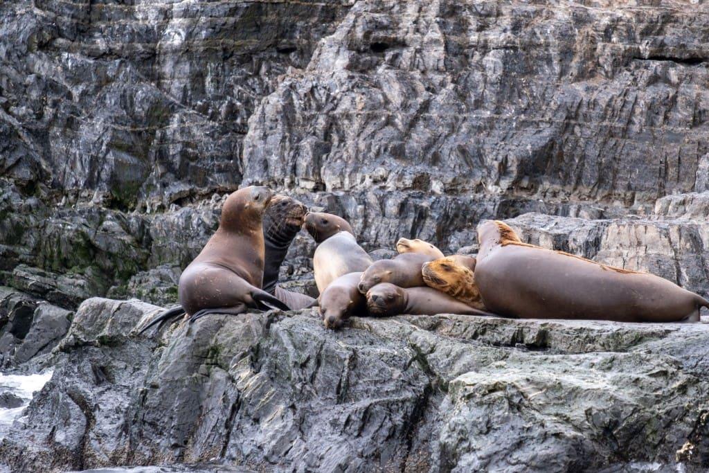 Lions de mer sur une île du canal de Beagle